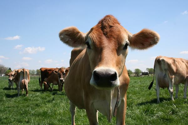 Pasture-fed Grade A dairy cows are sourced for our highest quality colostrum